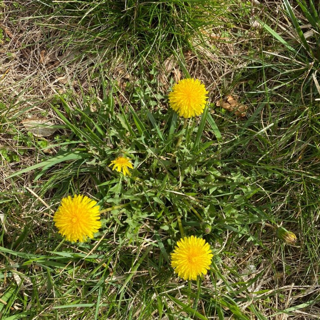 This image has an empty alt attribute; its file name is Dandelion--1024x1024.jpeg